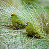 11001-74209  Reischek's parakeet (Cyanoramphus hochstetteri) pair perching in tussock on Antipodes Island *
