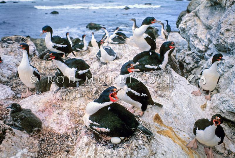 11001-35104  Chatham Island shag (Leucocarbo onslowi) colony on coast. Point Munning *
