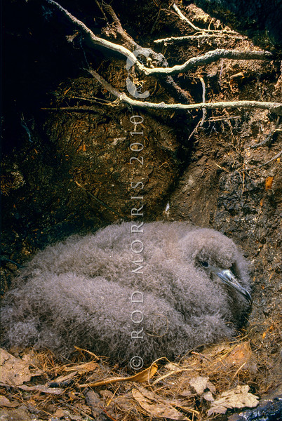 11001-13522 Sooty shearwater, titi or muttonbird (Ardenna grisea) chick in burrow. Big South Cape Island *