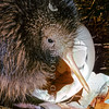 11001-01504 North Island brown kiwi (Apteryx mantelli) close-up of recently hatched chick with eggshell in burrow *