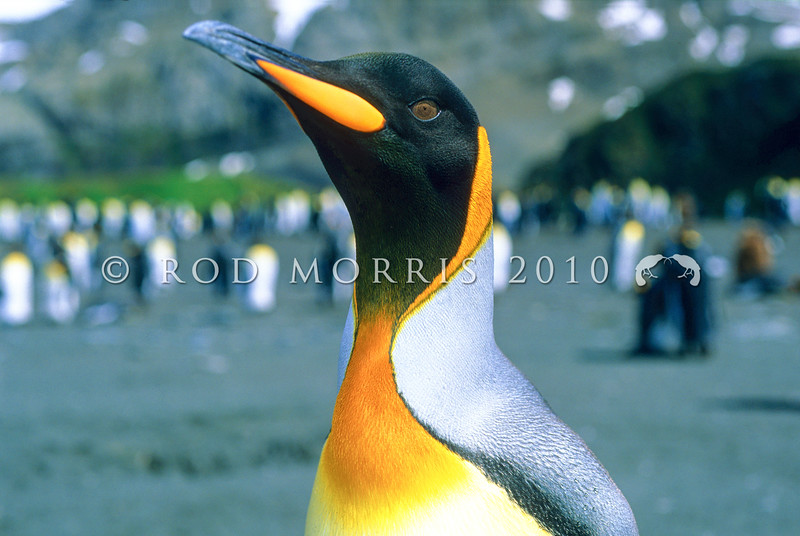 11001-24508  King penguin (Aptenodytes patagonicus) portrait of head. An occassional visitor to our subantarctic islands, the nearest breeding colonies are on Macquarie Island