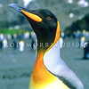 11001-24508  King penguin (Aptenodytes patagonicus) portrait of head. An occassional visitor to our subantarctic islands, the nearest breeding colonies are on Macquarie Island *