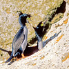11001-36605  Pitt Island shag (Phalacrocorax featherstoni) courting pair in breeding colours on cliff ledge on Little Mangere Island *