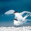 11001-65710 White-fronted tern (Sterna striata) pair mating on shellbank, Miranda *