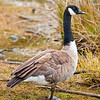 DSC_2532 Canada goose (Branta canadensis maxima) female at lake edge. The most variable of all geese, and commonly divided into 12 different races. The New Zealand population derives from the largest race. Since their first introduction in 1905 (originally gifted by US President Theodore Roosevelt), farmers have denounced them as pests, because of damage to pasture and crops. Lake Te Anau, Fiordland *