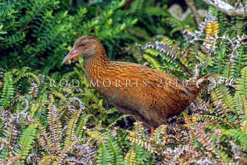 11001-49605 Stewart Island weka (Gallirallus australis scotti) in fern. Pearl Island *