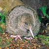11001-05611 Great spotted kiwi chick (Apteryx haastii) six week old chick on forest floor. Arthurs Pass National Park *