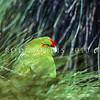 11001-74206  Reischek's parakeet (Cyanoramphus hochstetteri) male feeding in tussock on Anti