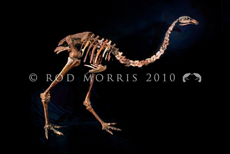 11001- 01114  North Island giant moa (Dinornis novaezealandiae) assembled skeleton from Takapau Road Swamp, Manukau.