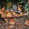 11001-48406 North Island weka (Gallirallus australis greyi) male stealing teaspoon from camp site. Gisborne *