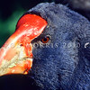 11001-52220 Takahe (Porphyrio hochstetteri) head of male *
