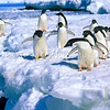 11001-26801  Adelie penguin (Pygocelis adeliae) a circumpolar breeder. This group are from the Ross Sea Region of Antarctica, where one third of the world's population breed
