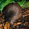 11001-02006  Eastern brown kiwi (Apteryx mantelli) close-up of 9 day old chick probing for worms on the forest floor. Lake Waikaremoana *