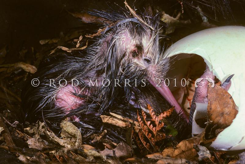 11001-01403  North Island brown kiwi (Apteryx mantelli) close-up of chick hatching in burrow *