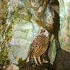 11001-76508  South Island laughing owl (Sceloglaux albifacies albifacies) museum mount.  Extinct around 1914