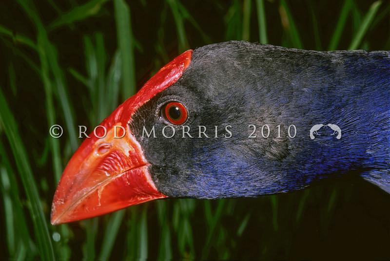 11001-50723  Pukeko (Porphyrio melanotus melanotus) head. Otago Peninsula *