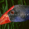 11001-50723  Pukeko (Porphyrio melanotus melanotus) head