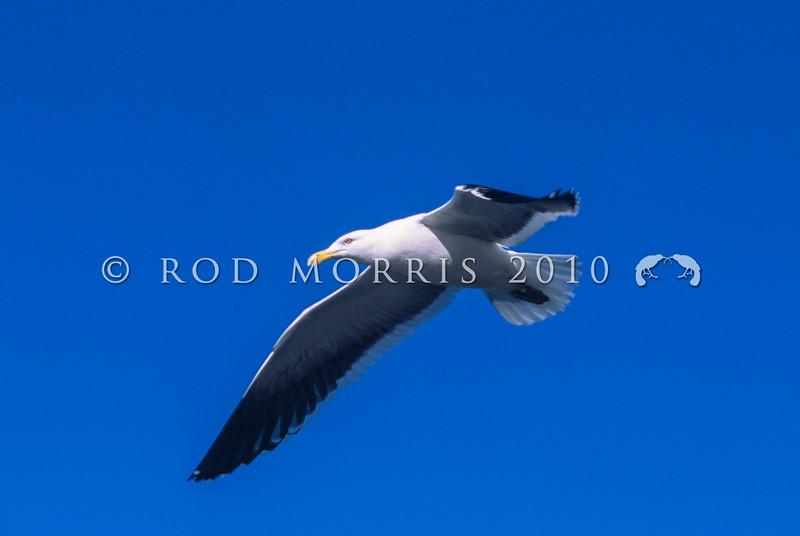 11001-63008 Southern black-backed gull (Larus dominicanus dominicanus) in flight. Kaikoura *