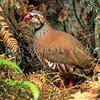 11001-46802  Red-legged partridge (Alectoris rufa rufa) an introduced game bird that has been repeatedly introduced, but largely failed to establish. However reported sightings of this species persist from the South Auckland area, and from the Waikato.