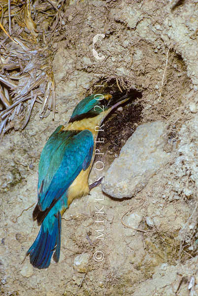 11001-77216 New Zealand kingfisher (Todiramphus sanctus vagans) male outside nest chamber in bank with food for chicks *