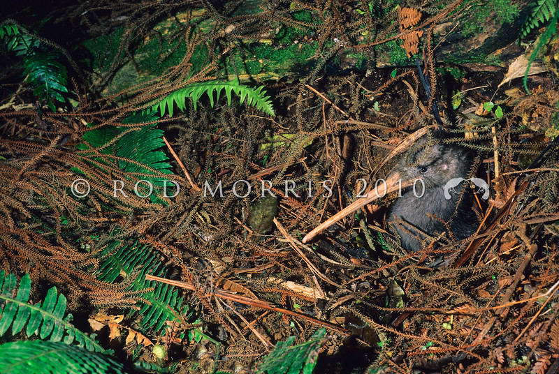 11001-02107  Western brown kiwi (Apteryx mantelli) female emerging from nesting burrow *