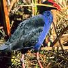 11001-50814  Pukeko (Porphyrio melanotus melanotus) female carrying material to nest