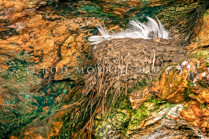 DSC_9624 Welcome swallow (Hirundo neoxena neoxena) nest in sea cave. Now known throughout New Zealand, swallows breed in porches and under bridges. The welcome swallow was known here only as a vagrant before the 1950's. Otago Harbour