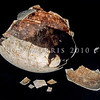 11001-00606 Eastern moa (Emeus crassus) egg assembled from shell fragments, now at Te Papa. Eastern moa lived only in the South Island lowlands, in forests, grasslands, dunelands, and shrublands. Females were 15-25% larger than males, and like almost all moa species, they were extinct by 1500 *