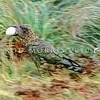 11001-72510 Kea or mountain parrot (Nestor notabilis) adult carrying Hutton's shearwater egg to break it. Upper Kowhai Stream, Seaward Kaikoura Range *