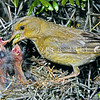 11001-85519  European greenfinch (Carduelis chloris) female feeding nestlings in boxthorn hedge. One of the commonest birds in the New Zealand countryside *