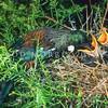11001-84501 Tui (Prosthemadera novaeseelandiae) female feeding fledglings in nest in matai. Otatara *