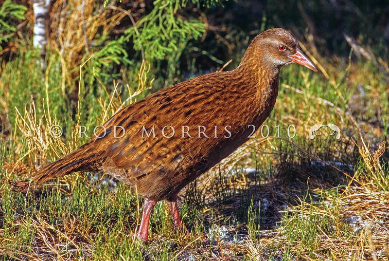 11001-49705 Stewart Island weka (Gallirallus australis scotti) male