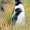 11001-28311  Western rockhopper penguin (Eudyptes chrysocome) an occasional visitor to the Snares Islands *