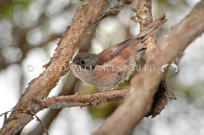 DSC_8217 Brown creeper (Mohoua novaeseelandiae) male in kanuka. Otago Peninsula *