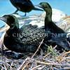 11001-34008 Little black shag (Phalacrocorax sulcirostris) adult incubating chick on nest. Lake Rotorua