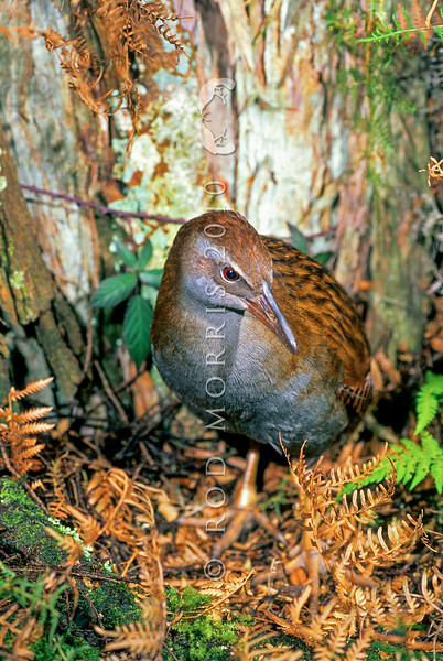 11001-48415 North Island weka (Gallirallus australis greyi) male in bracken near Gisborne *