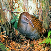 11001-48415 North Island weka (Gallirallus australis greyi) male in bracken near Gisbourne *