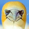 11001-31901 Australasian gannet (Morus serrator) close up of head. Cape Kidnappers, Hawkes Bay *