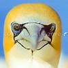 11001-31901 Australasian gannet (Morus serrator) close up of head *