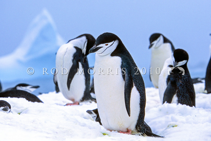 11001-26907 Chinstrap penguin (Pygocelis antarctica) the only known colony in the New Zealand region is on Chinstrap Islet in the Balleny Islands. Only about 13 pairs nest here