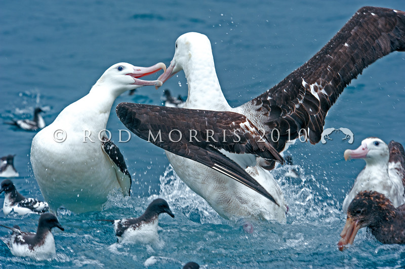 DSC_0757 Gibson's albatross (Diomedea antipodensis gibsoni) two males fighting off the Kaikoura coast. This species is a member of the 'wandering albatross' complex, and breeds on the Auckland Islands.