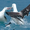 DSC_0757 Gibson's albatross (Diomedea antipodensis gibsoni) two males fighting off the Kaikoura coast. This species is a member of the 'wandering albatross' complex, and breeds on the Auckland Islands *
