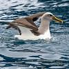 DSC_3848 Northern Buller's albatross (Thalassarche bulleri platei) adult landing at sea near South East Island, Chatham Islands *