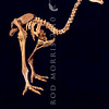 11001-00116 Little bush moa (Anamalopteryx didiformis) skeleton of a large wingless ground bird now extinct but formerly widespread in closed canopy forests
