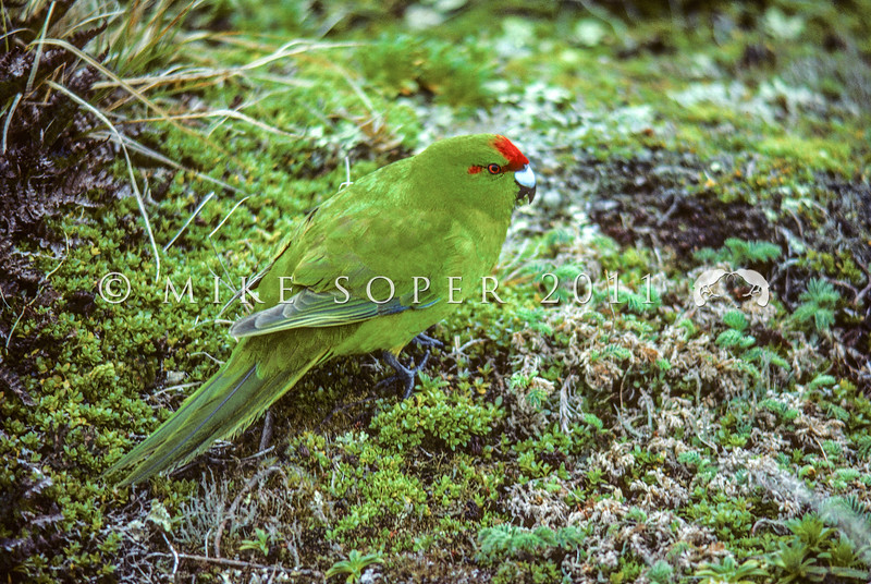 11001-74208  Reischek's parakeet (Cyanoramphus hochstetteri) male feeding on the ground on Antipodes Island *