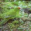 11001-74208  Reischek's parakeet (Cyanoramphus hochstetteri) male feeding on the ground on Antipodes Island