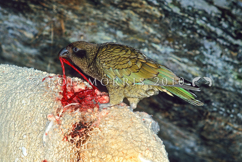 11001-72318 Kea or mountain parrot (Nestor notabilis) male feeding on a live sheep it has attacked at night in winter. Invincible Valley, Glenorchy  *
