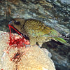 11001-72318 Kea or mountain parrot (Nestor notabilis) male feeding on a live sheep it has attacked at night in winter