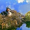 11001-06210 Australasian crested grebe (Podiceps cristatus australis) adult on nest. Lake Fergus, Fiordland *