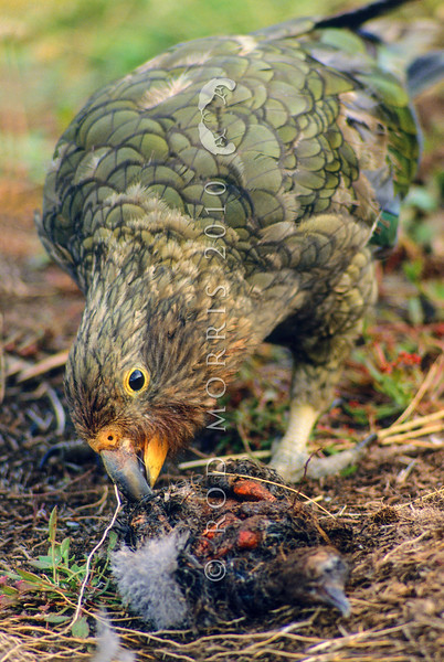 11001-72620 Kea or mountain parrot (Nestor notabilis) young bird eating a Hutton's shearwater chick it has killed. Upper Kowhai Stream, Seaward Kaikoura Range *